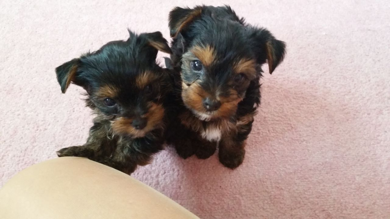 Images Of Yorkshire Terrier For Sale In Lincolnshire Wallpaper Dog 1280x720