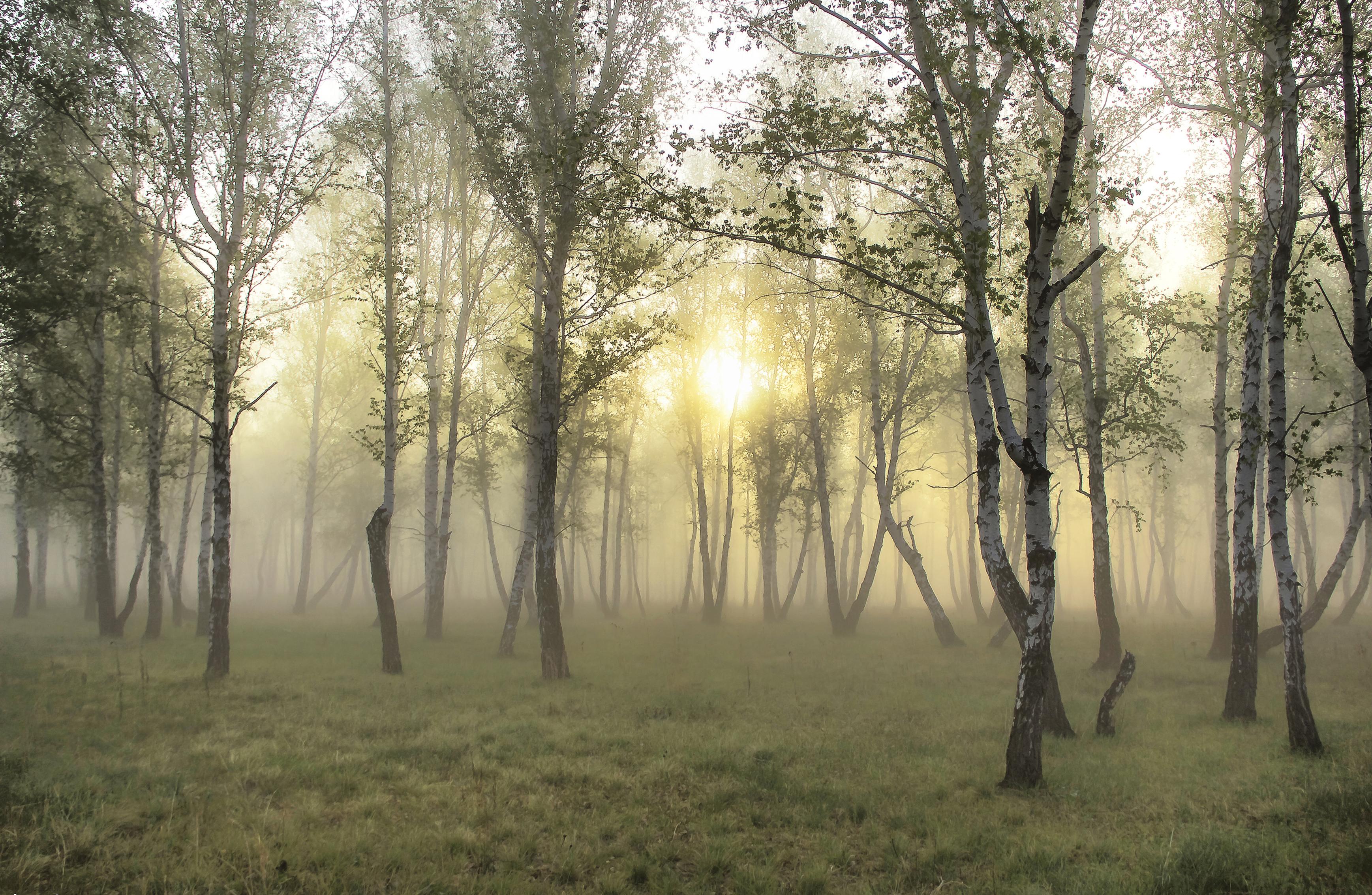 wood birch fog sunshine grass wallpaper wallpapersjpg 3475x2267