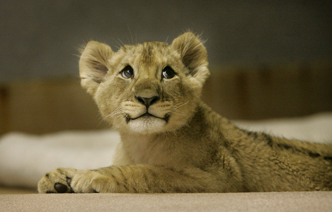 lion cubs cute Amazing Wallpapers 650x415