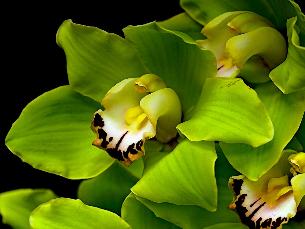 Green orchid Flowers wallpaper   beautiful desktop wallpapers 2014 1024x768
