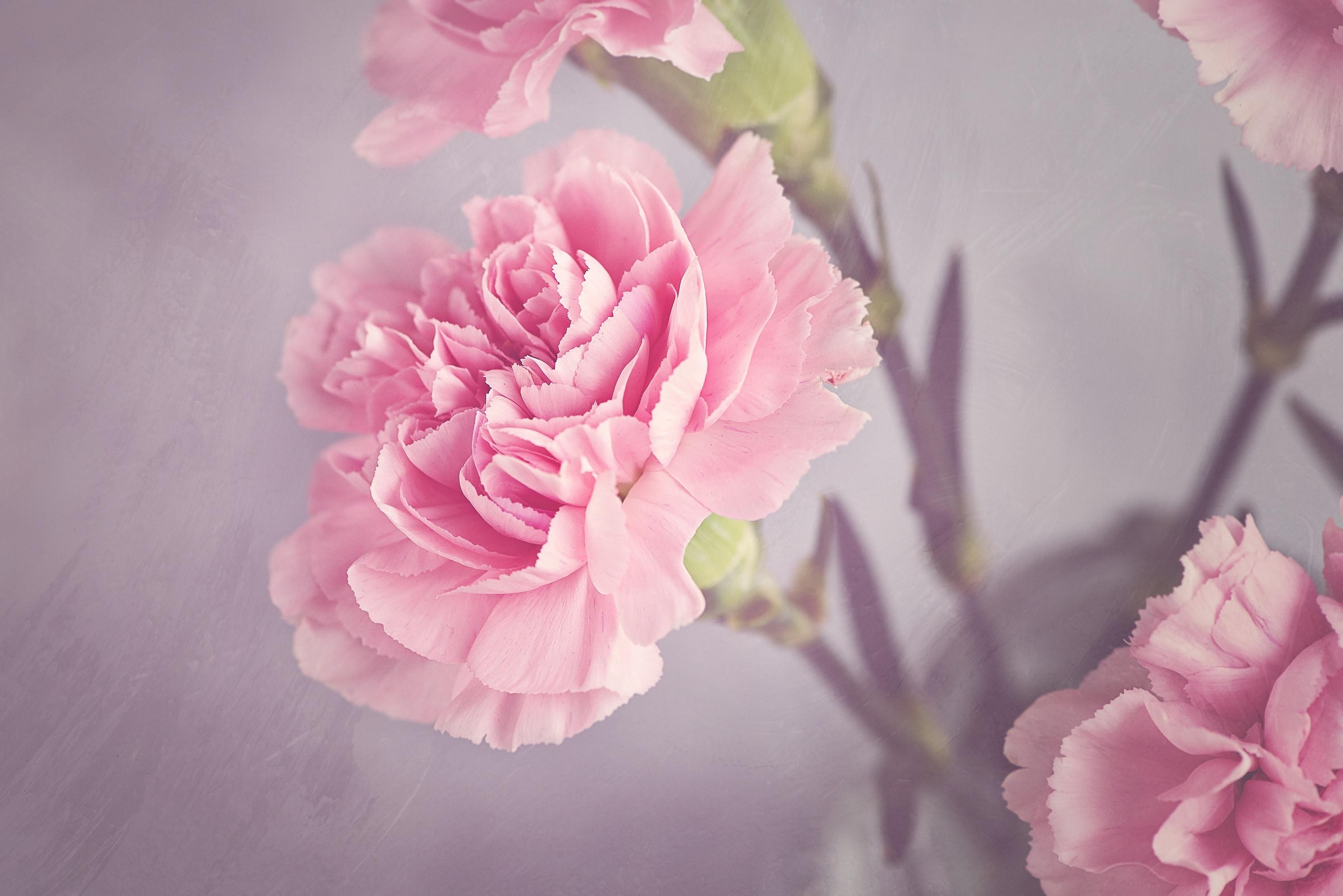 download pink carnation flower image Peakpx [3008x2008] for 3008x2008