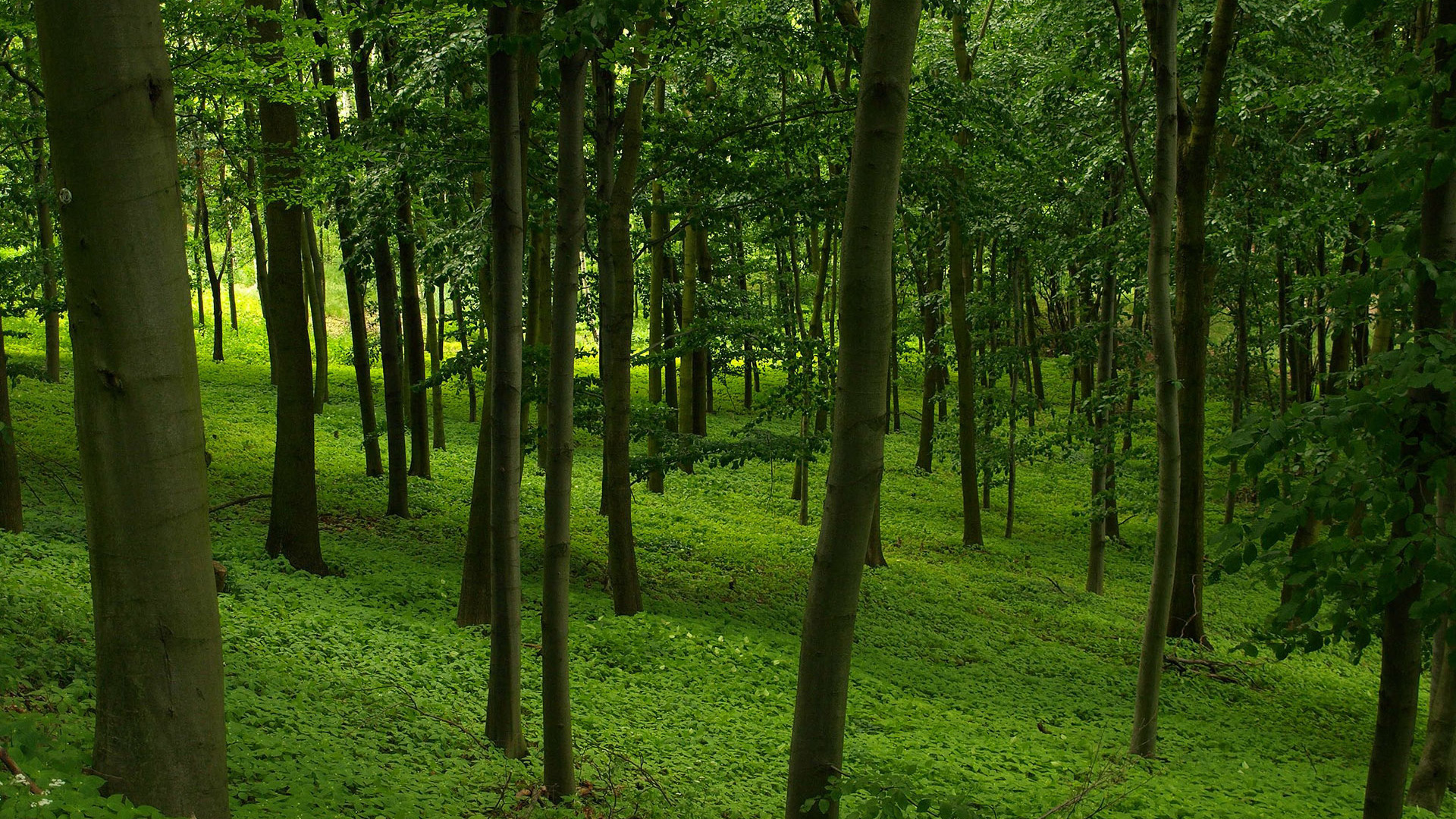 Download Green forest wallpaper 1920x1080