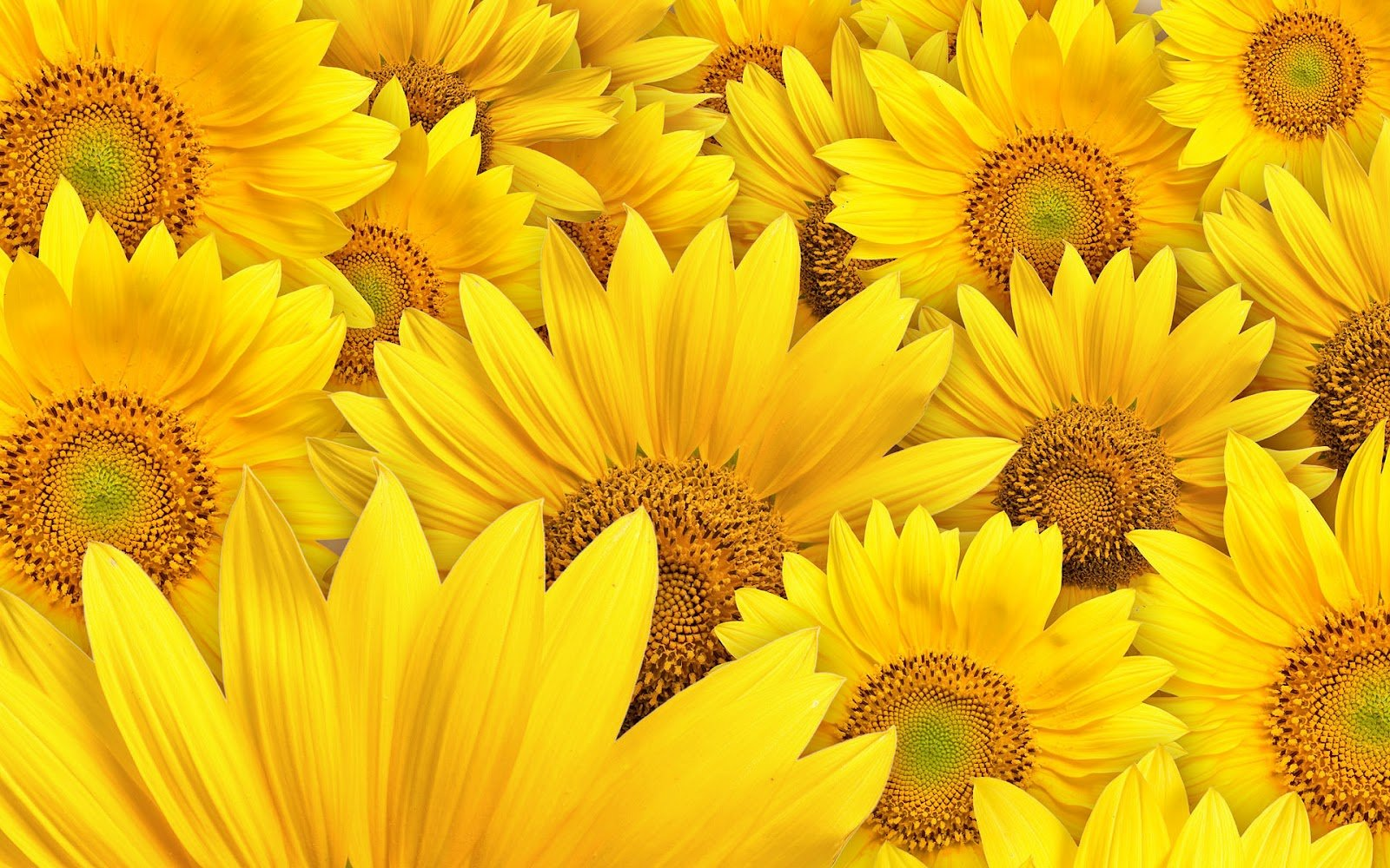 Sunflower Wallpapers Desktop wallpapers Desktop HD Wallpapers 1600x1000