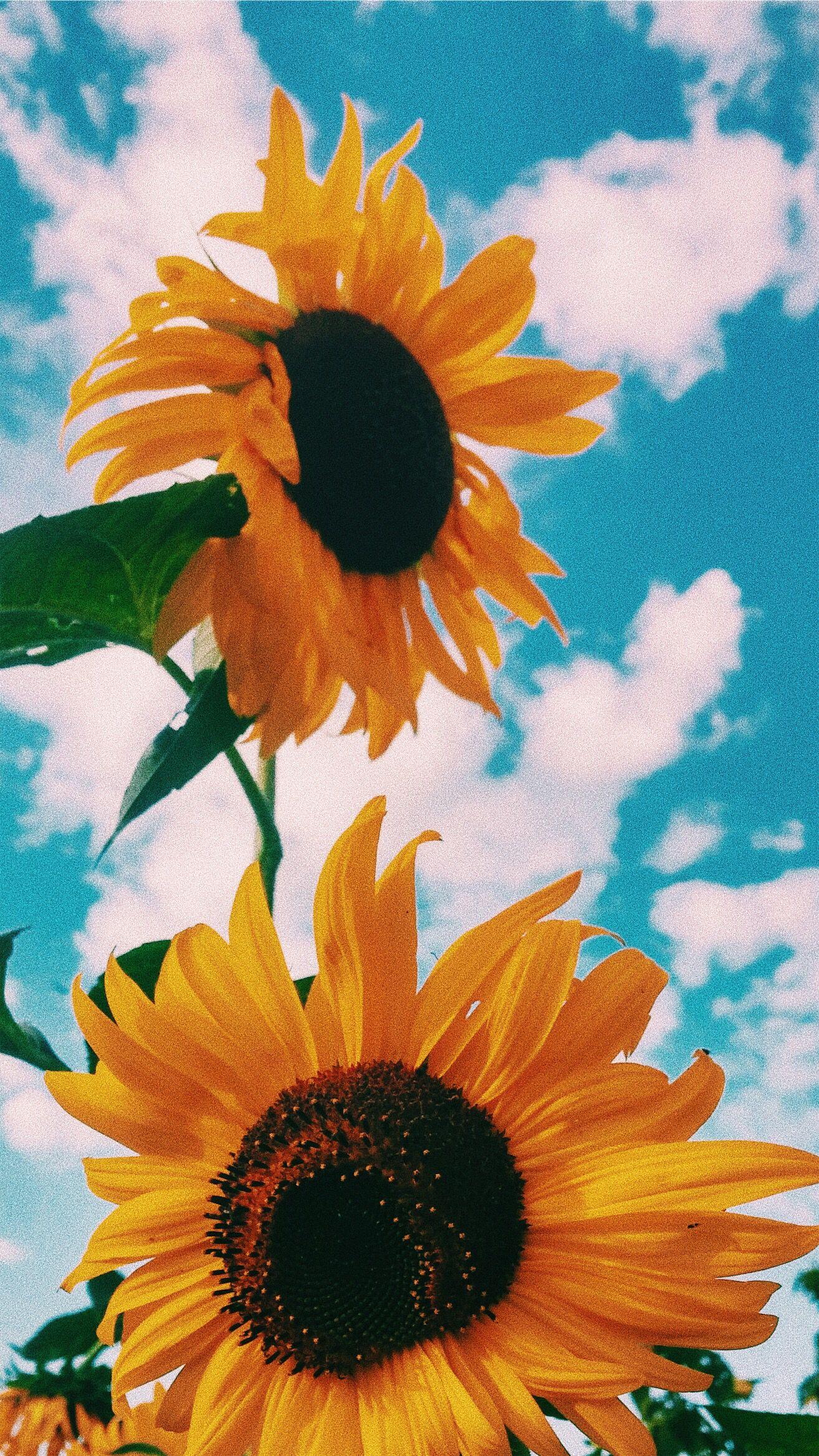 48+ Clouds Sunflower Aesthetic Wallpapers on WallpaperSafari