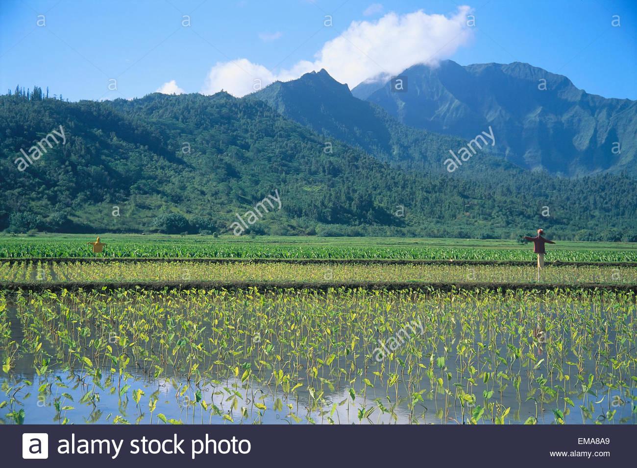 Hawaii Kauai Hanalei Valley Taro Field With Scarecrows 1300x956