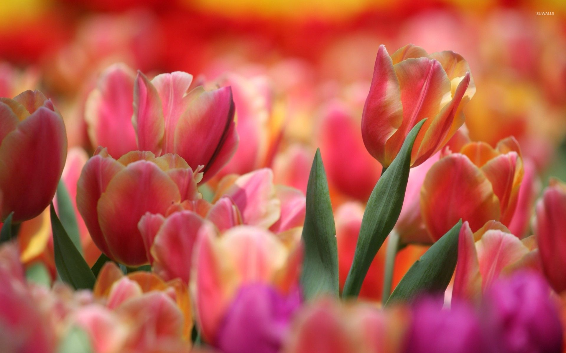 Pink and Orange Wallpa...