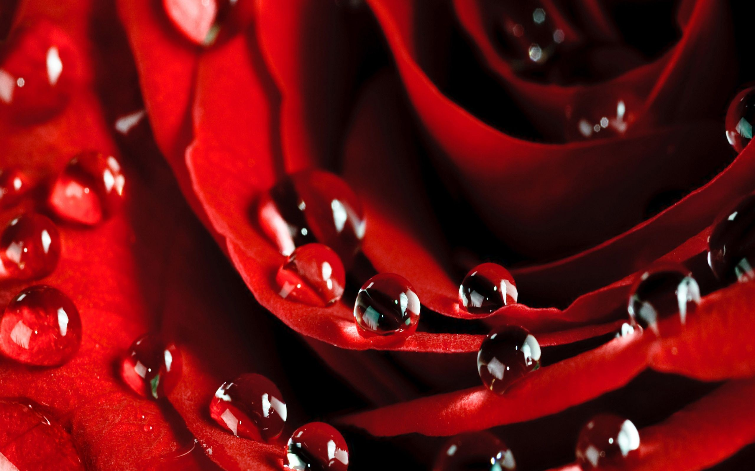 2560x1600px rose flowers wallpapers free download wallpapersafari