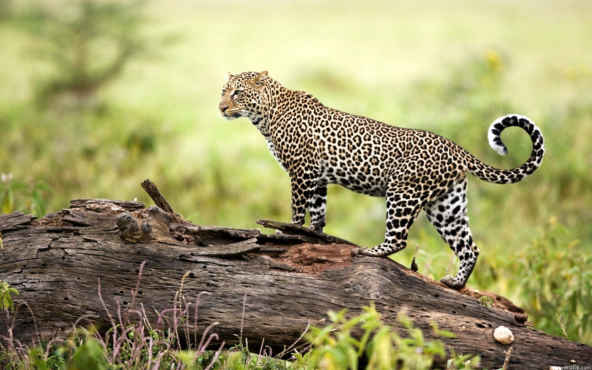 Leopard Wildlife Wallpapers HD Wallpapers 1920x1200