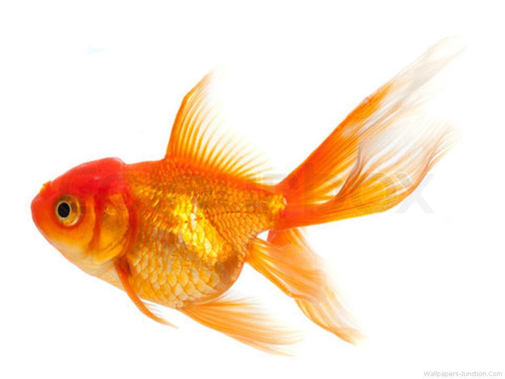 Goldfish Wallpapers 1024x768