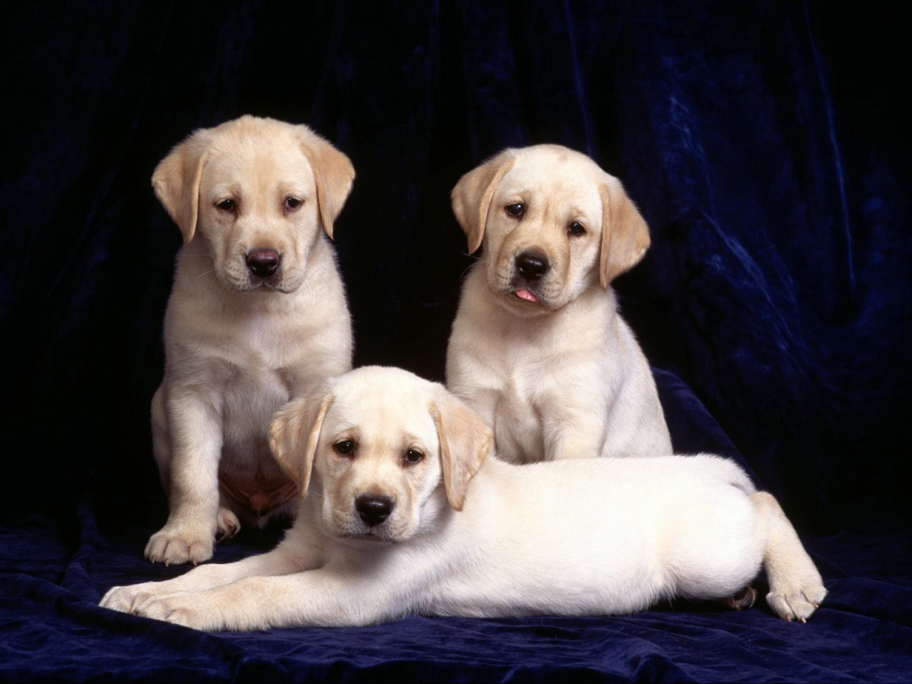 Labrador Puppies Review and Pictures 1280x960