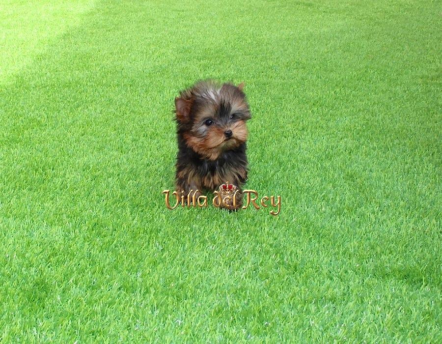 de Yorkshire Terrier de excelente calidad Cachorros de Yorkshire 900x700