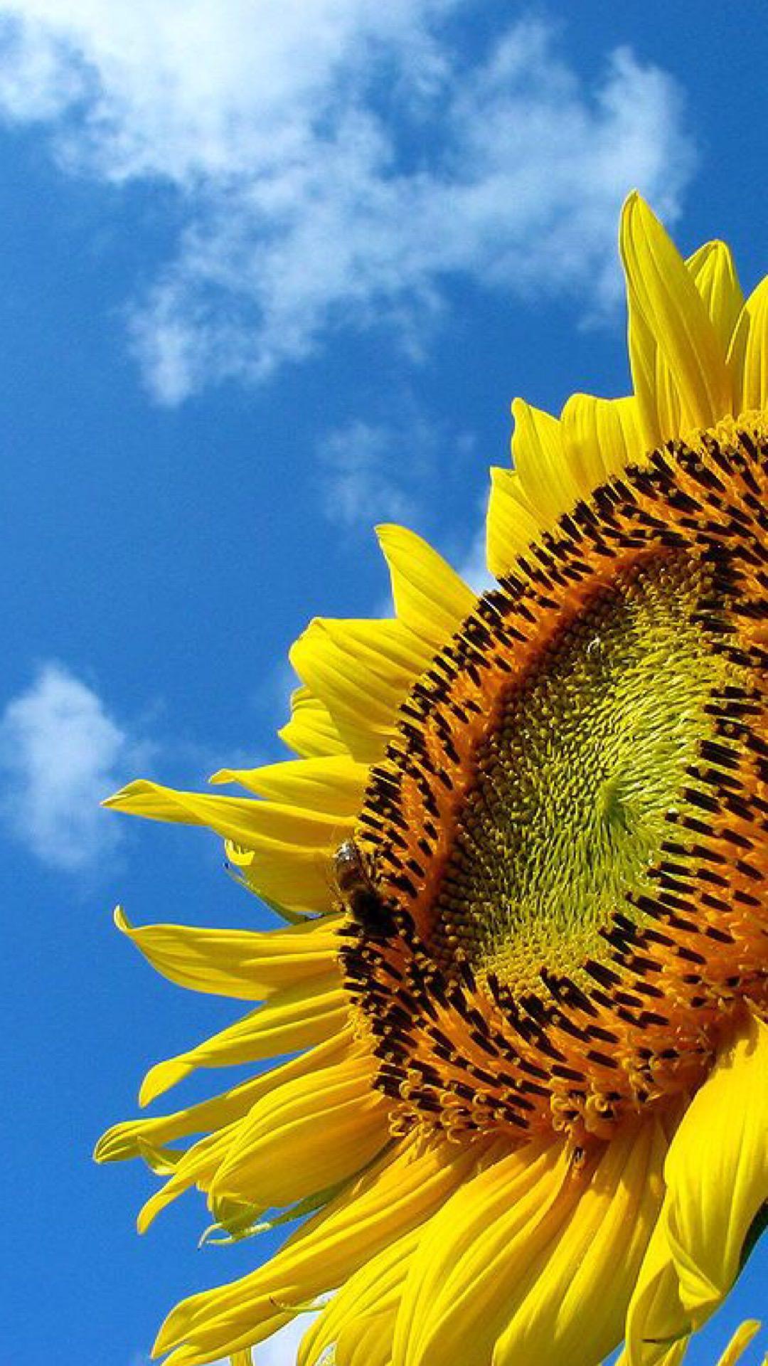 Sunflower Sky wallpapersc iPhone7Plus 1080x1920
