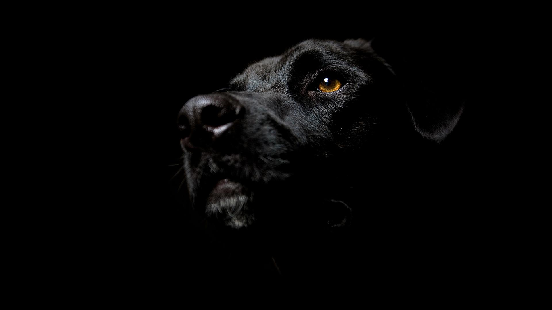 wallpaper black labrador cute backgrounds desktop dog 1920x1080