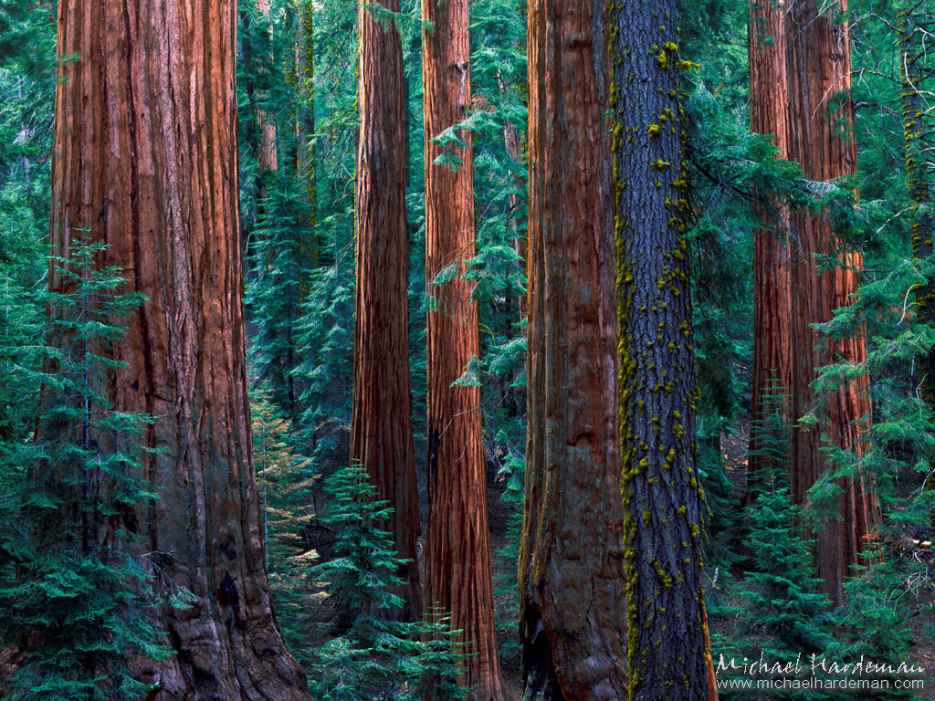 justpictcom Sequoia Trees Wallpaper 1024x768