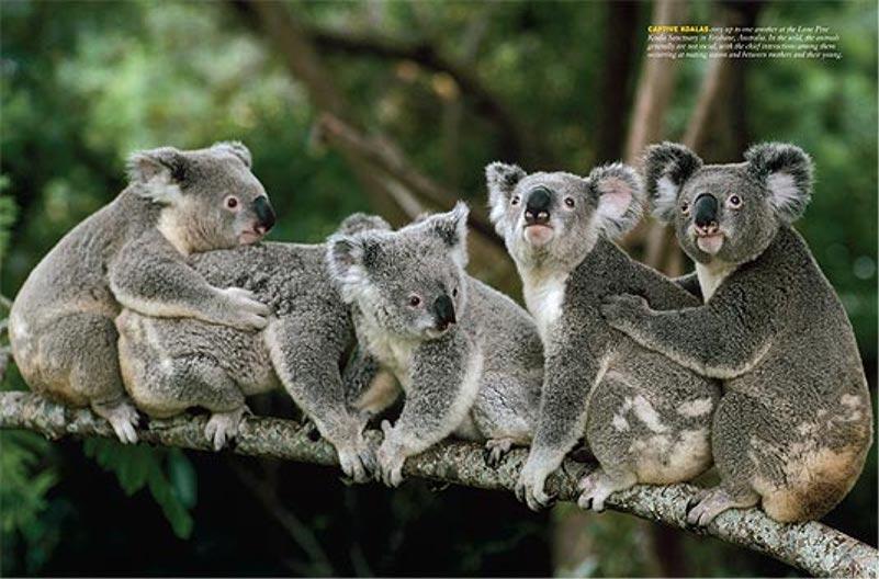Koala Wallpaper Fun Animals Wiki Videos Pictures Stories 801x528