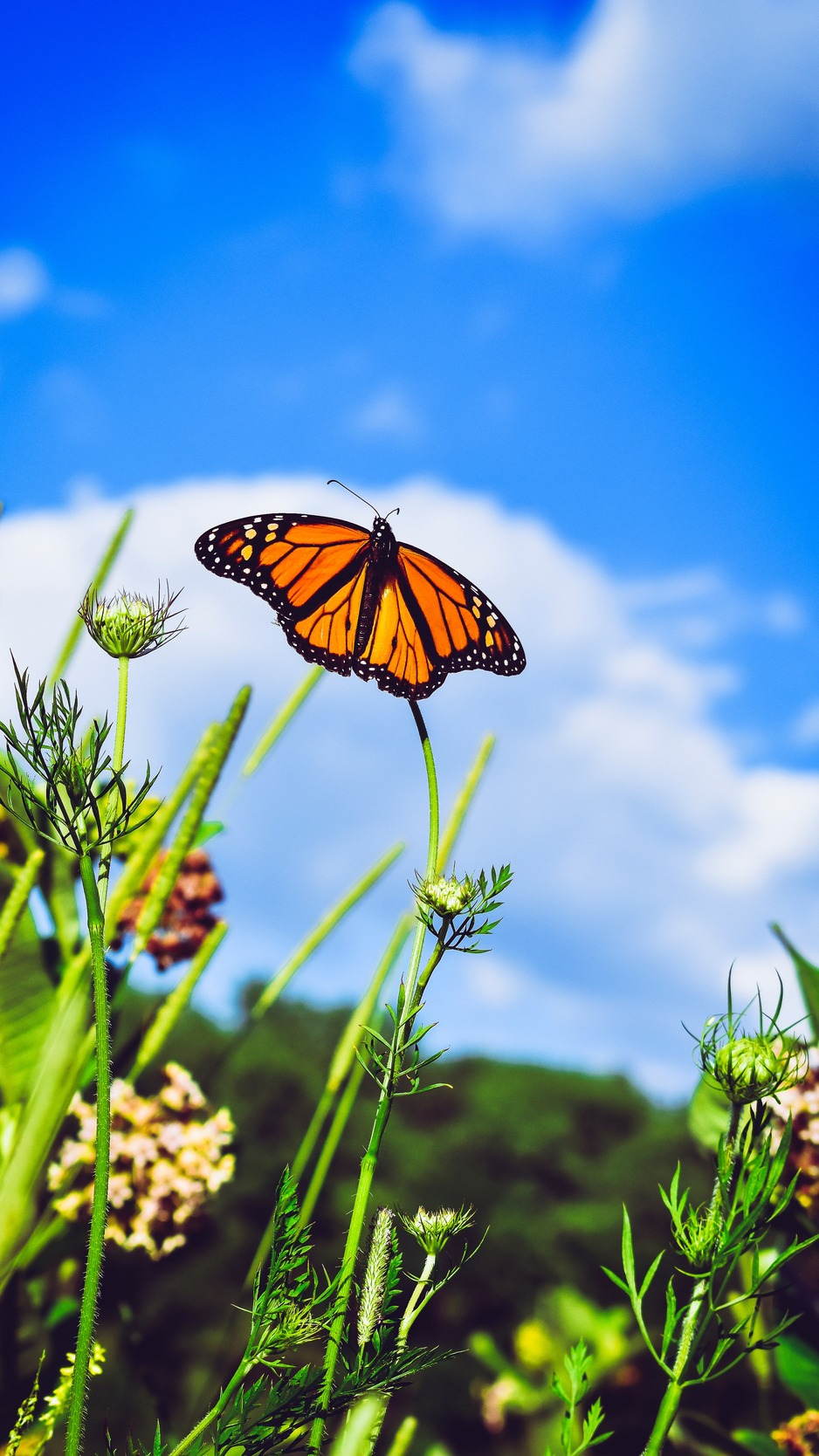 Download wallpaper 938x1668 monarch butterfly butterfly close up 938x1668