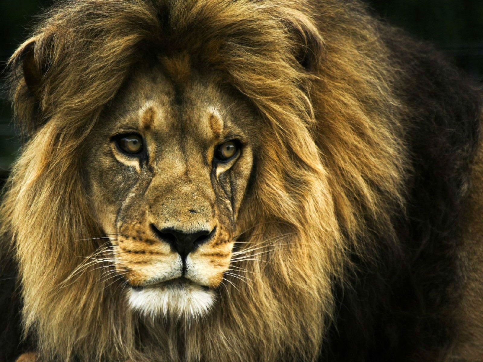 download lion phone wallpaper which is under the lion wallpapers 1600x1200