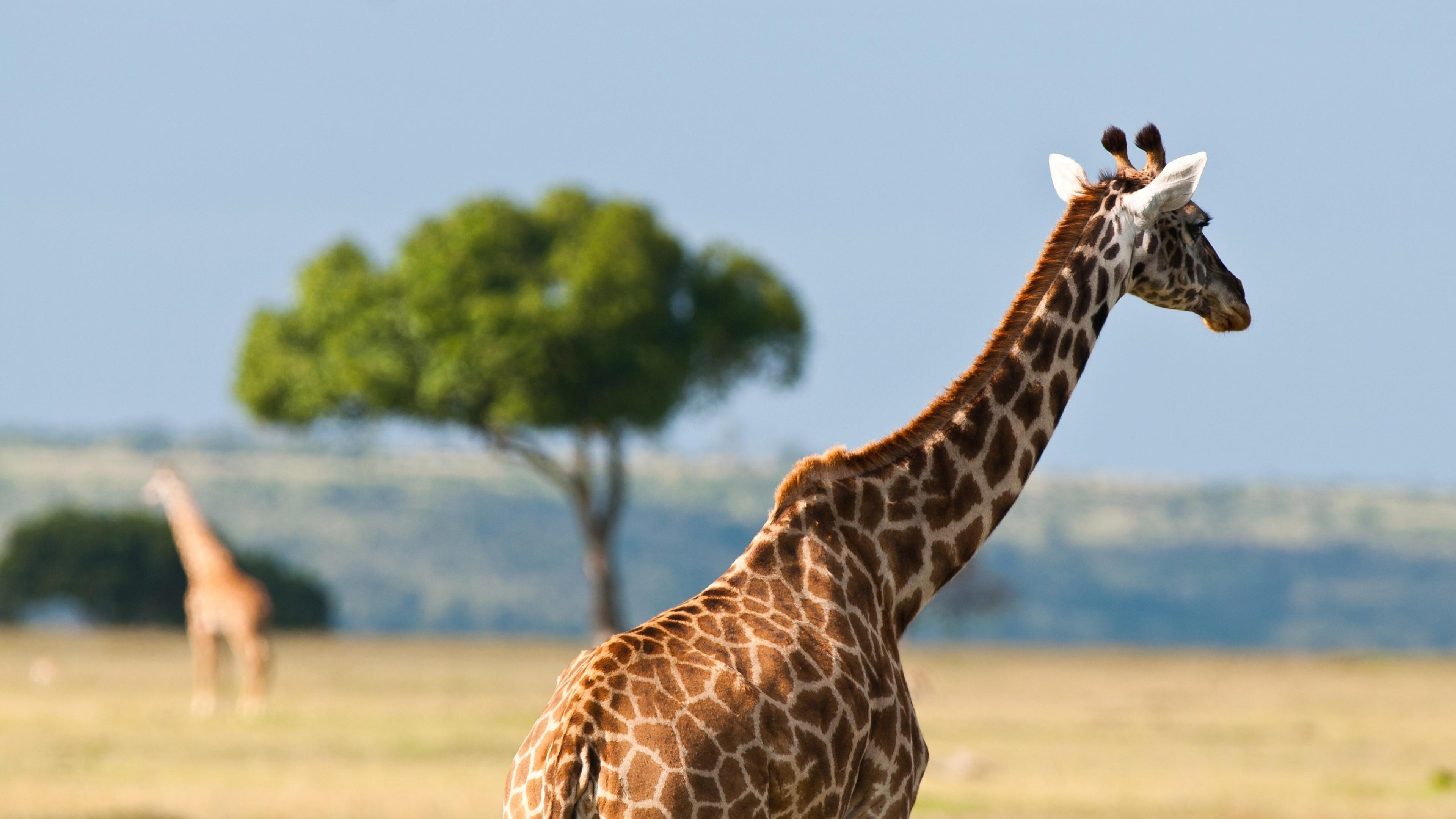 Download Wallpaper 3840x2160 Giraffe Back Africa Desert 4K Ultra HD 3840x2160
