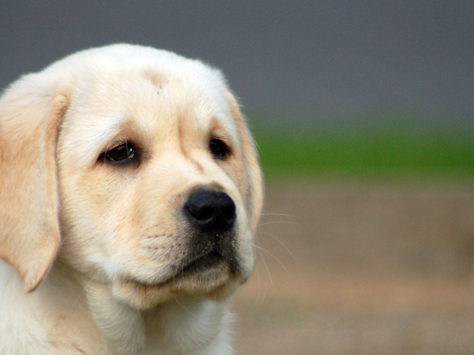 File Name 921906 Wallpapers for Yellow Lab Puppy Resolution 1600x1200