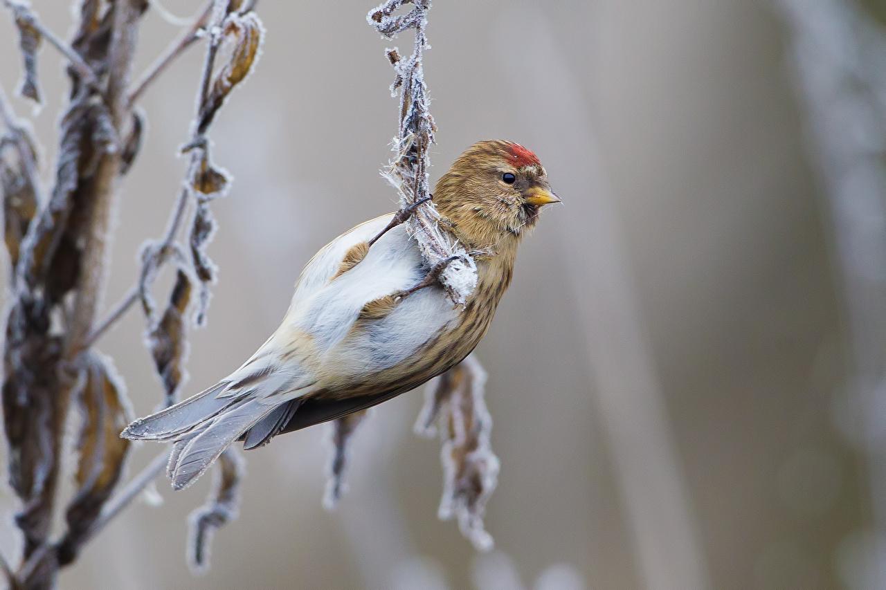 Desktop Wallpapers bird Common redpoll animal 1280x853
