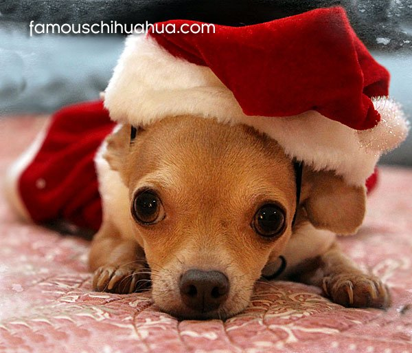 Christmas Chihuahua Desktop Wallpaper