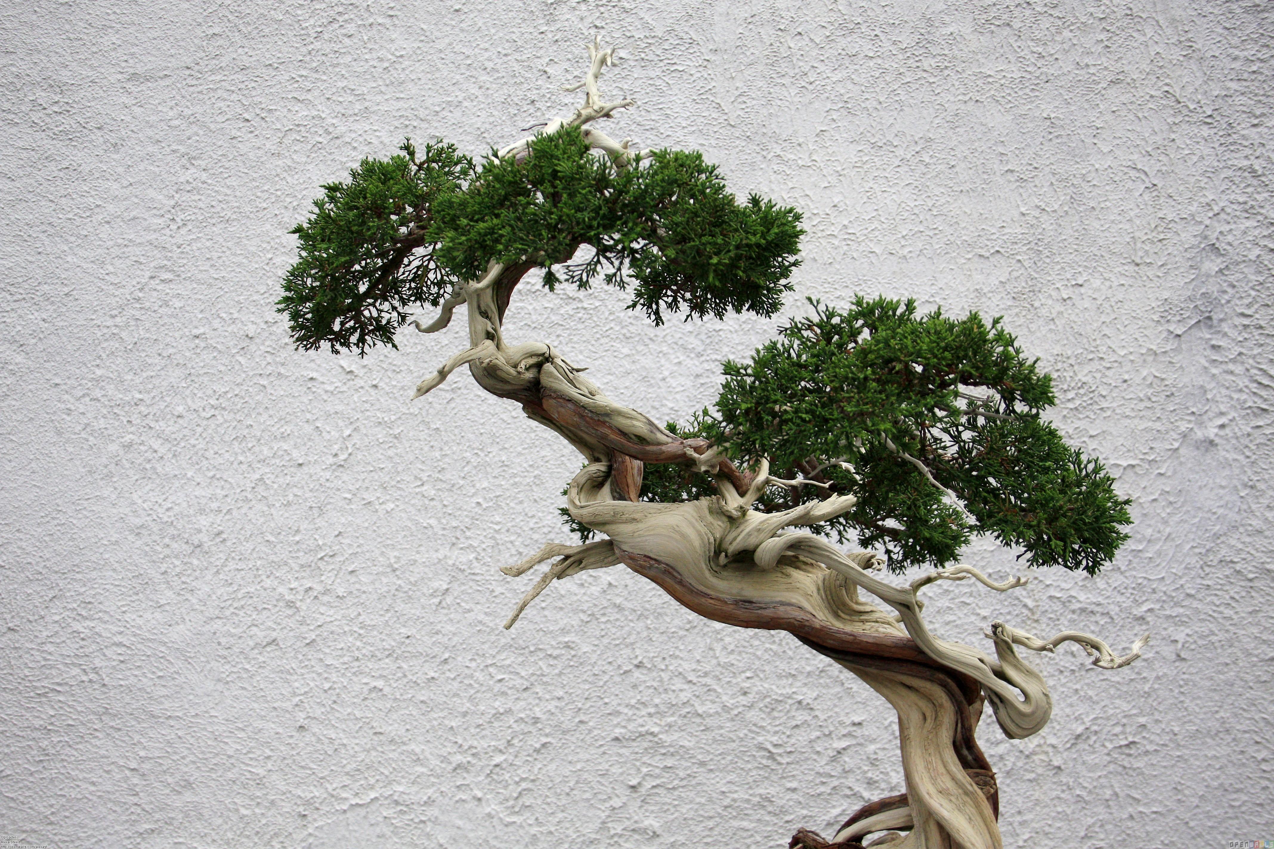 Bonsai Tree Wallpaper Wallpapersafari
