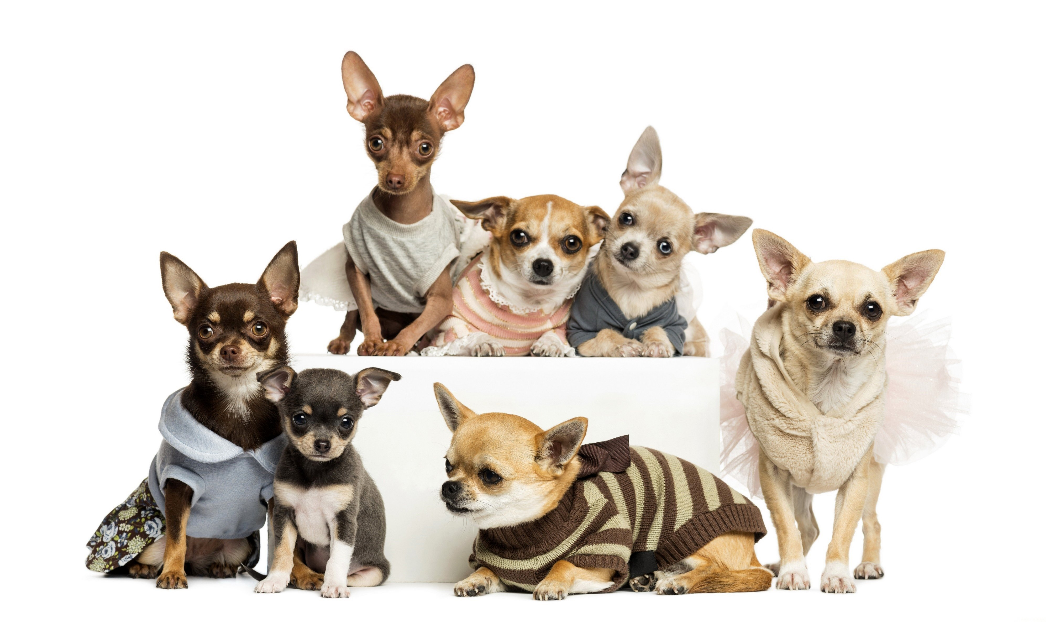 chihuahua dogs wallpaper wallpapersafari