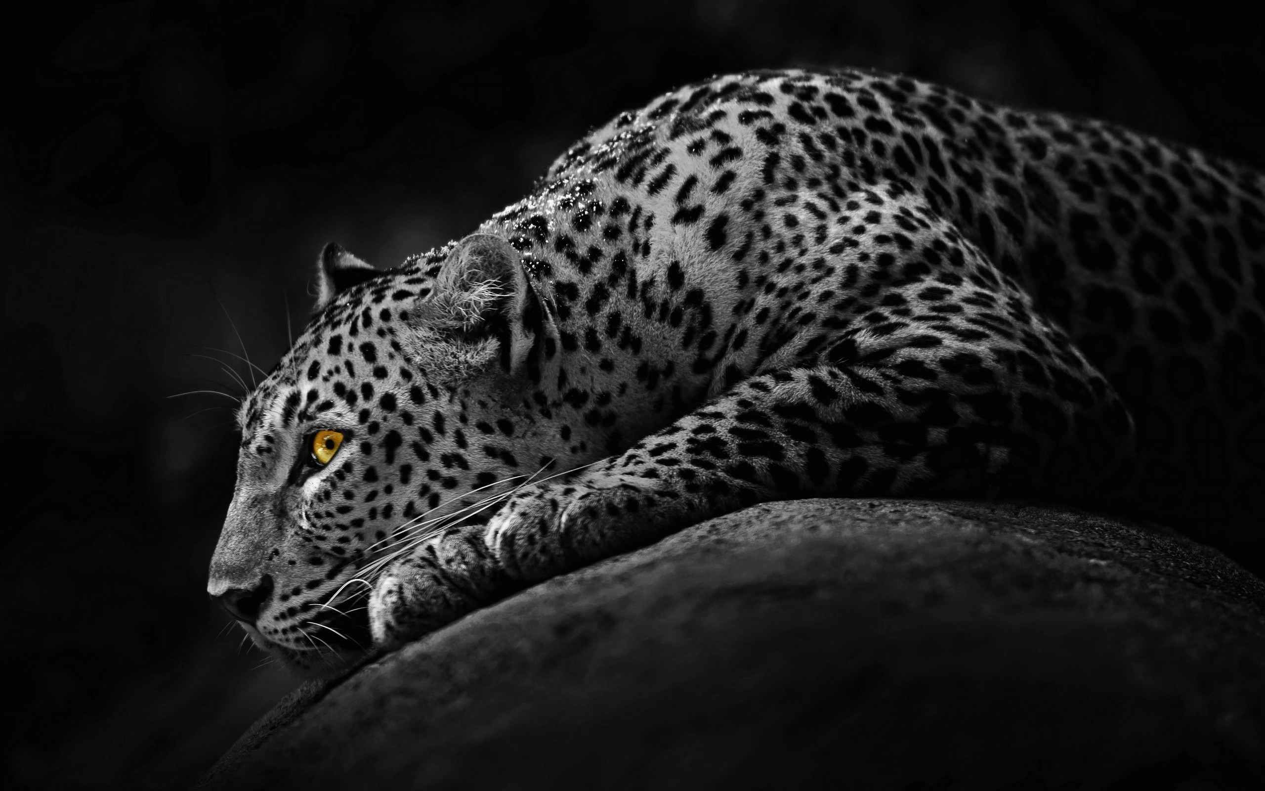 Black Jaguar Animal Wallpaper 2560x1600