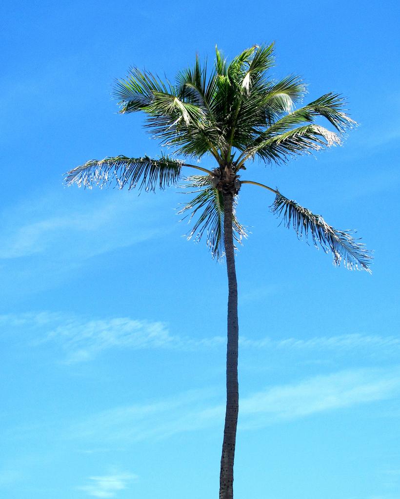 Description Tropical Palm Treejpg 820x1024