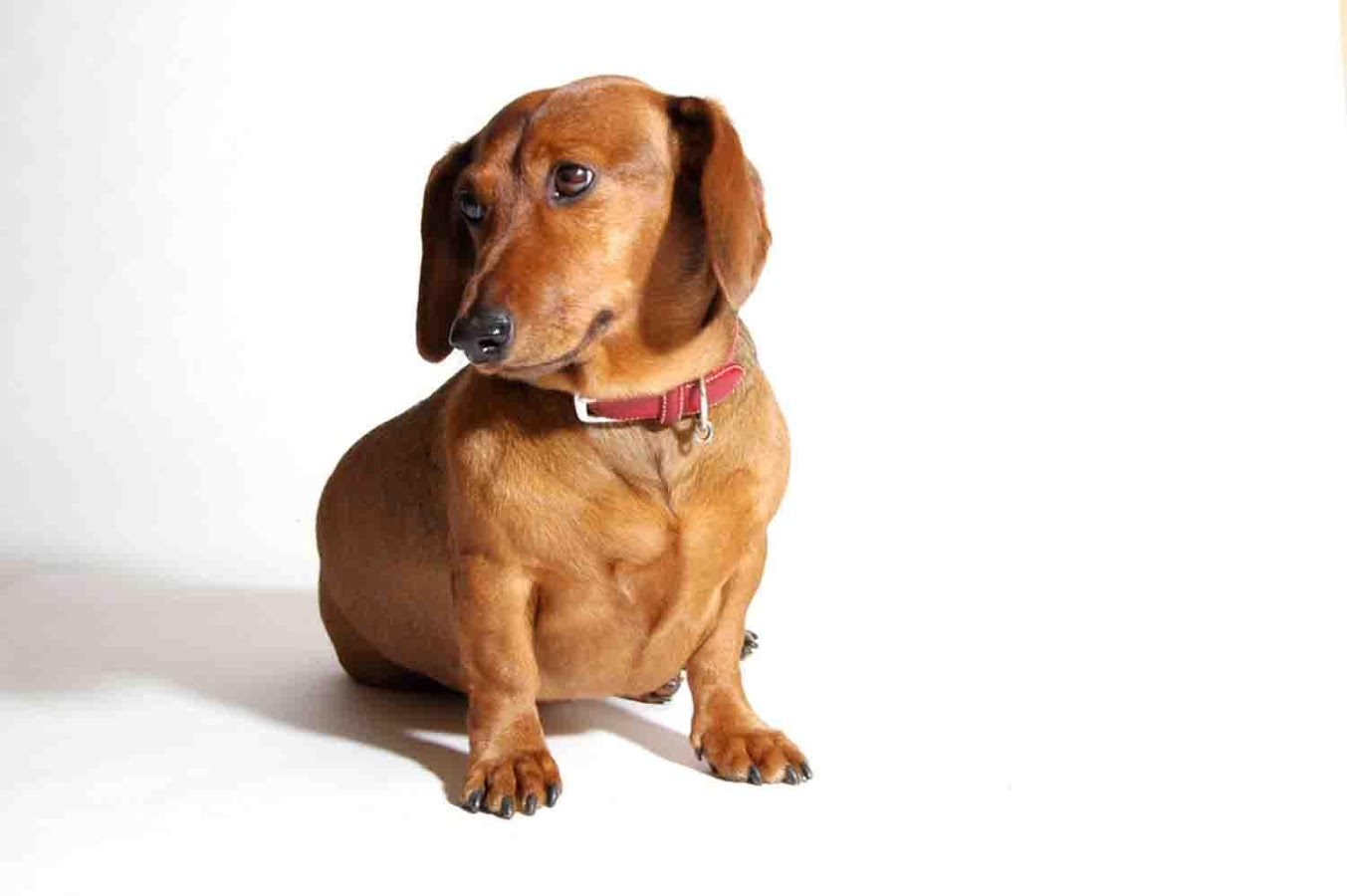 Weiner Dog Wallpaper Android Apps on Google Play 1353x900