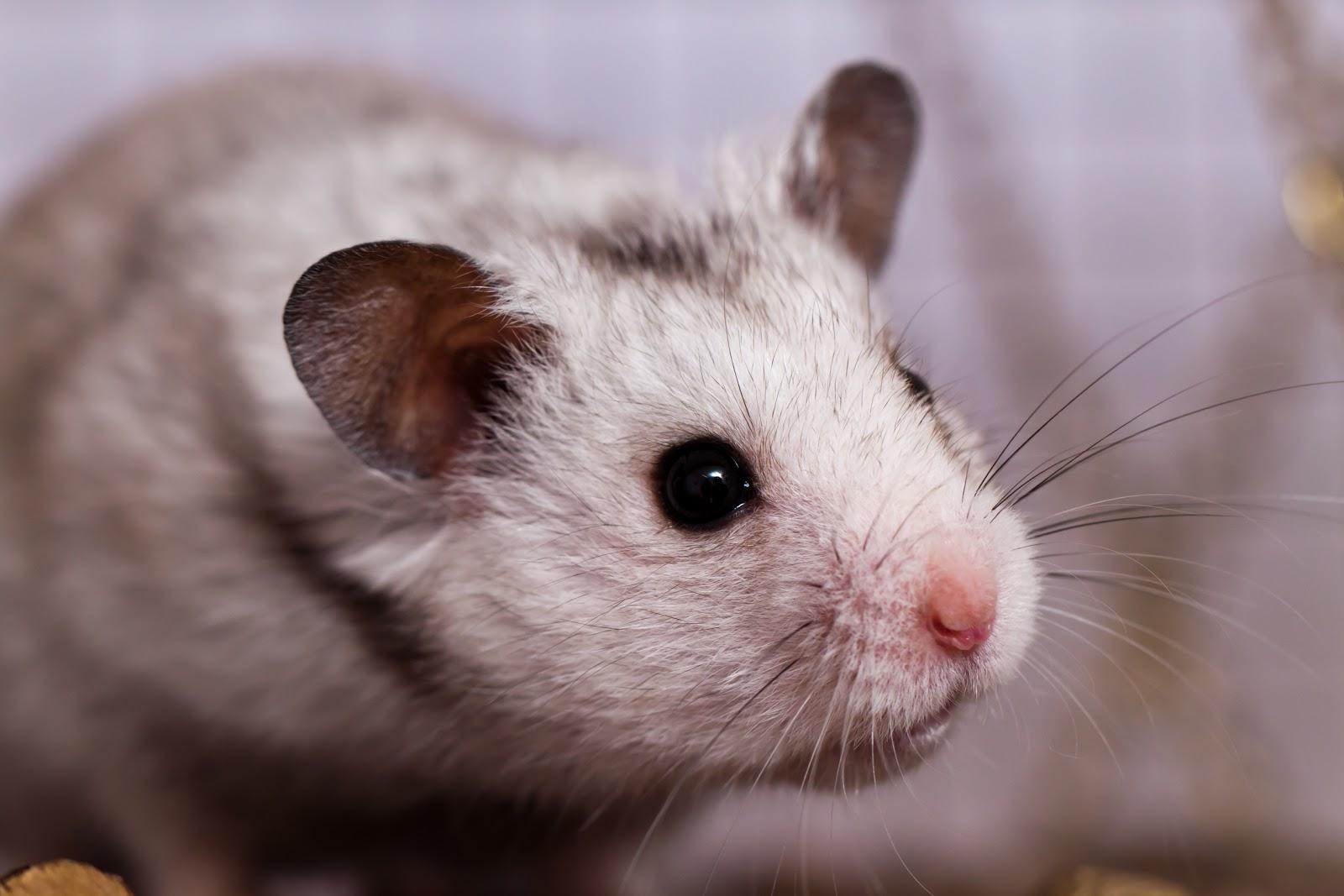 My Wallpapers Corner Cute Curious Hamster Wallpaper 1600x1067