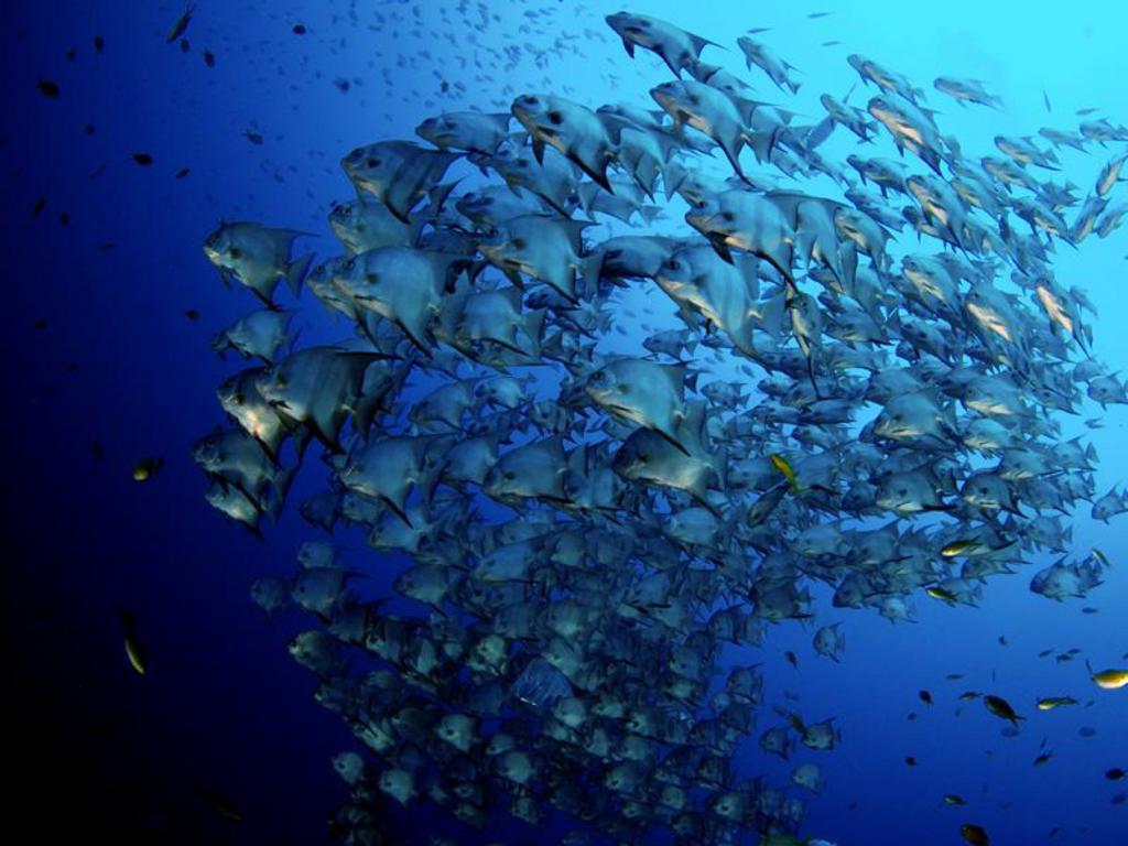 School of fish wallpaper wallpapersafari for The fishing school