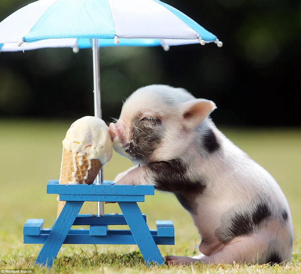 Fun in the Sun Adorable Piglet Eating Ice Cream 964x879