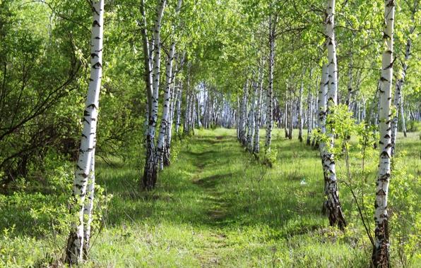 Wallpaper summer day forest birch wood grass beauty wallpapers 596x380