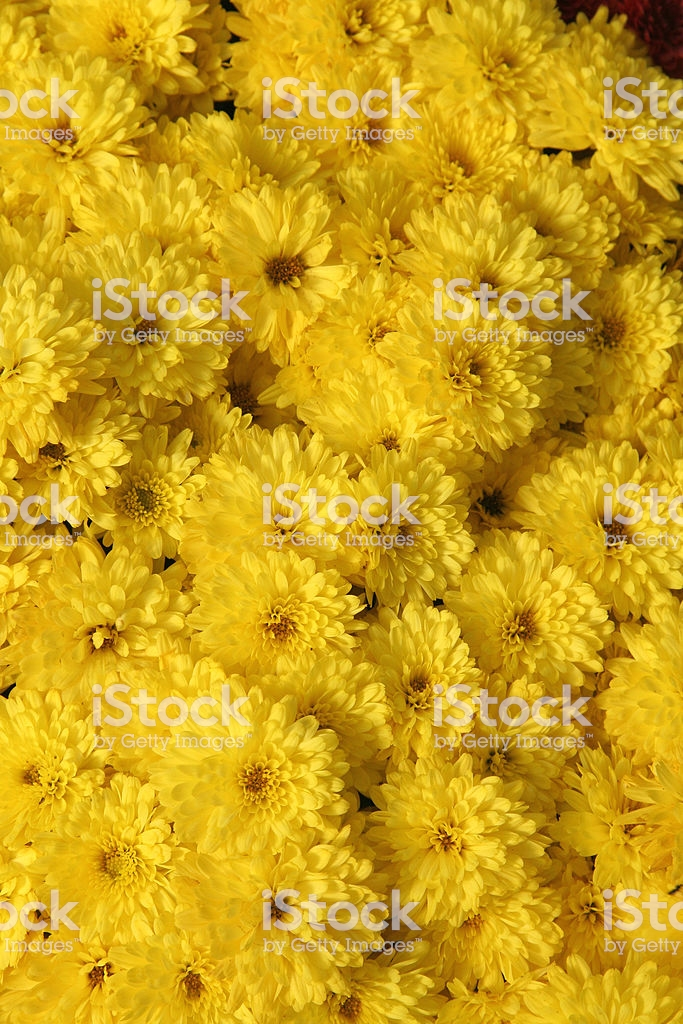 Yellow Mums Background Stock Photo   Download Image Now   iStock 683x1024
