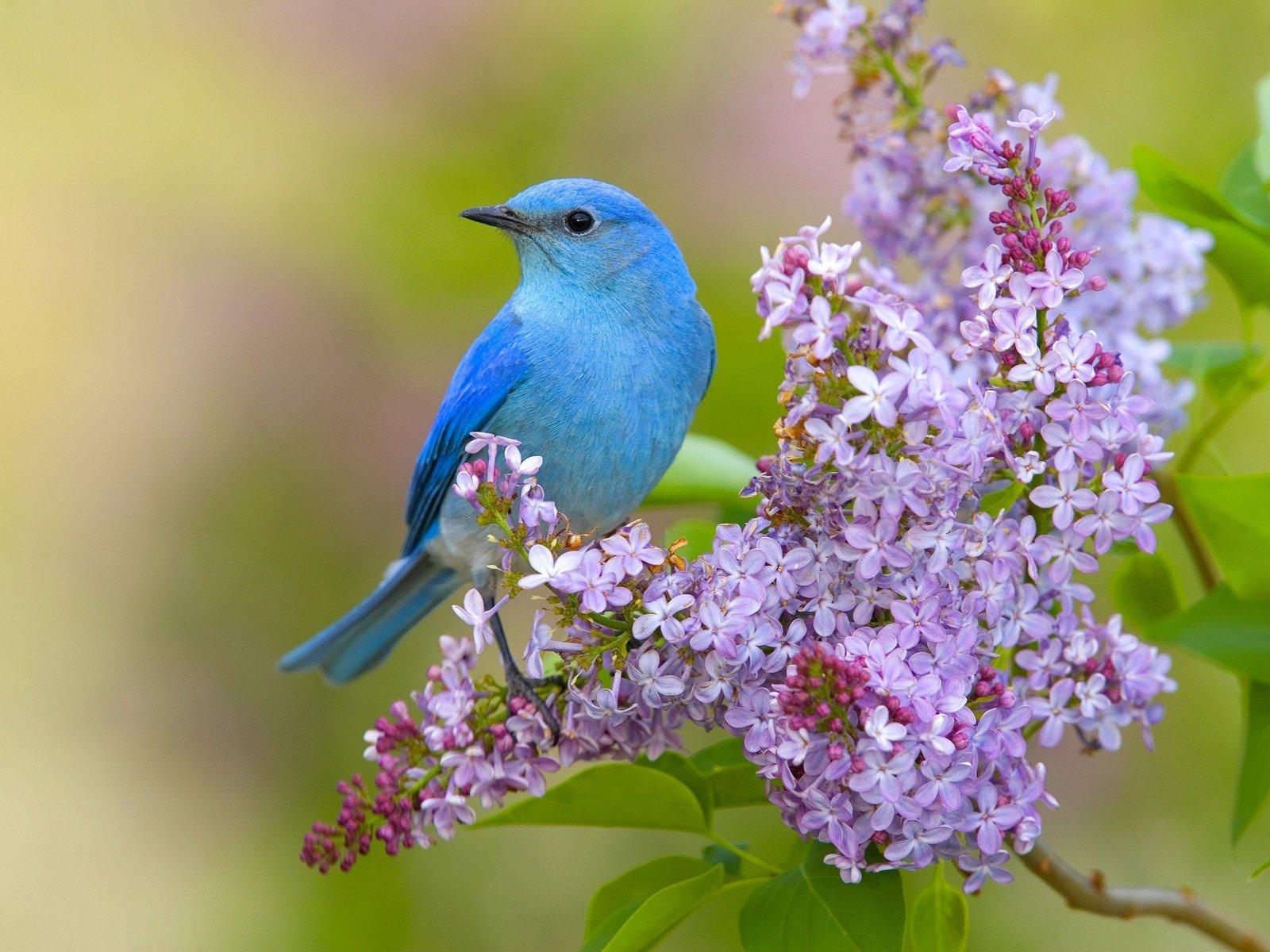 Flowers birds lilac bluebirds wallpaper 1600x1200 328072 1600x1200