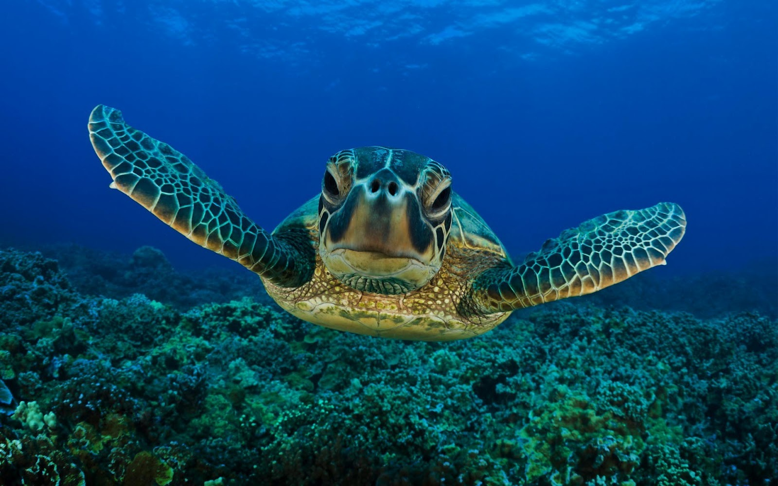 of a swimming turtle underwater HD turtles wallpapers   backgrounds 1600x1000