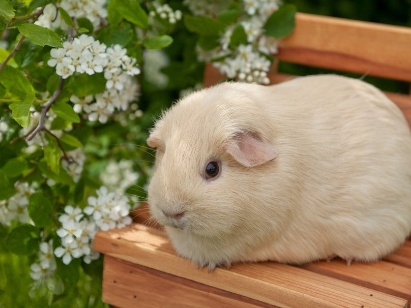 Cute Guinea Pig Wallpapers Pictures to like or share on Facebook 808x606