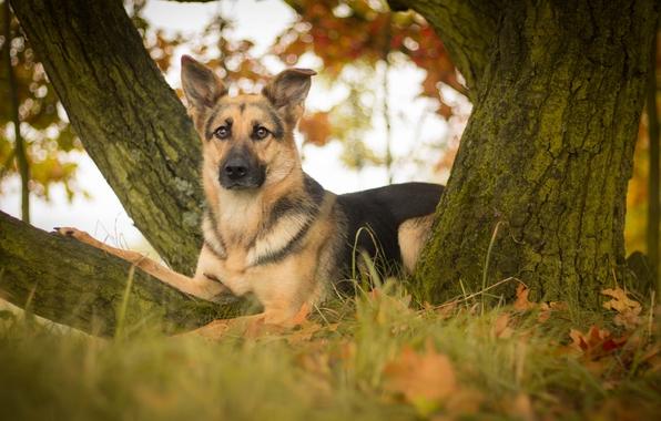 German shepherd shepherd dog view leaves tree wallpapers photos 596x380