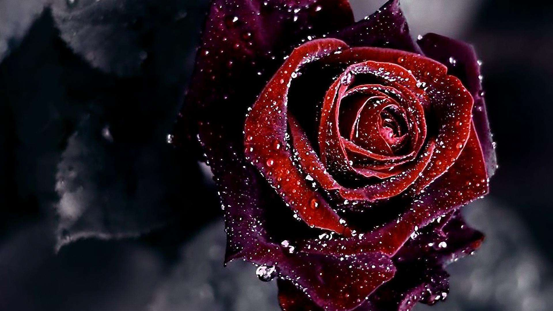 HDQ Cover Wallpapers Rose Wallpaper Rose Pictures For 1920x1080