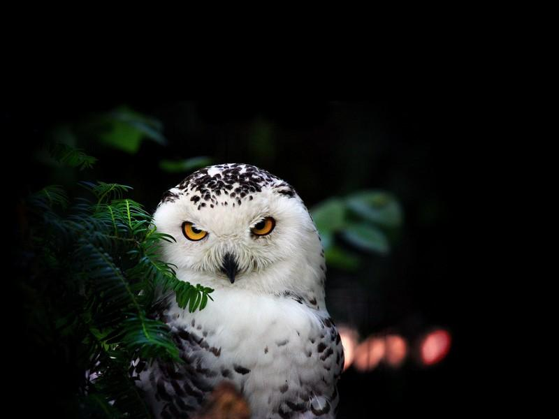 Snowy Owl Bird HD Wallpaper   Android Apps on Google Play 800x600