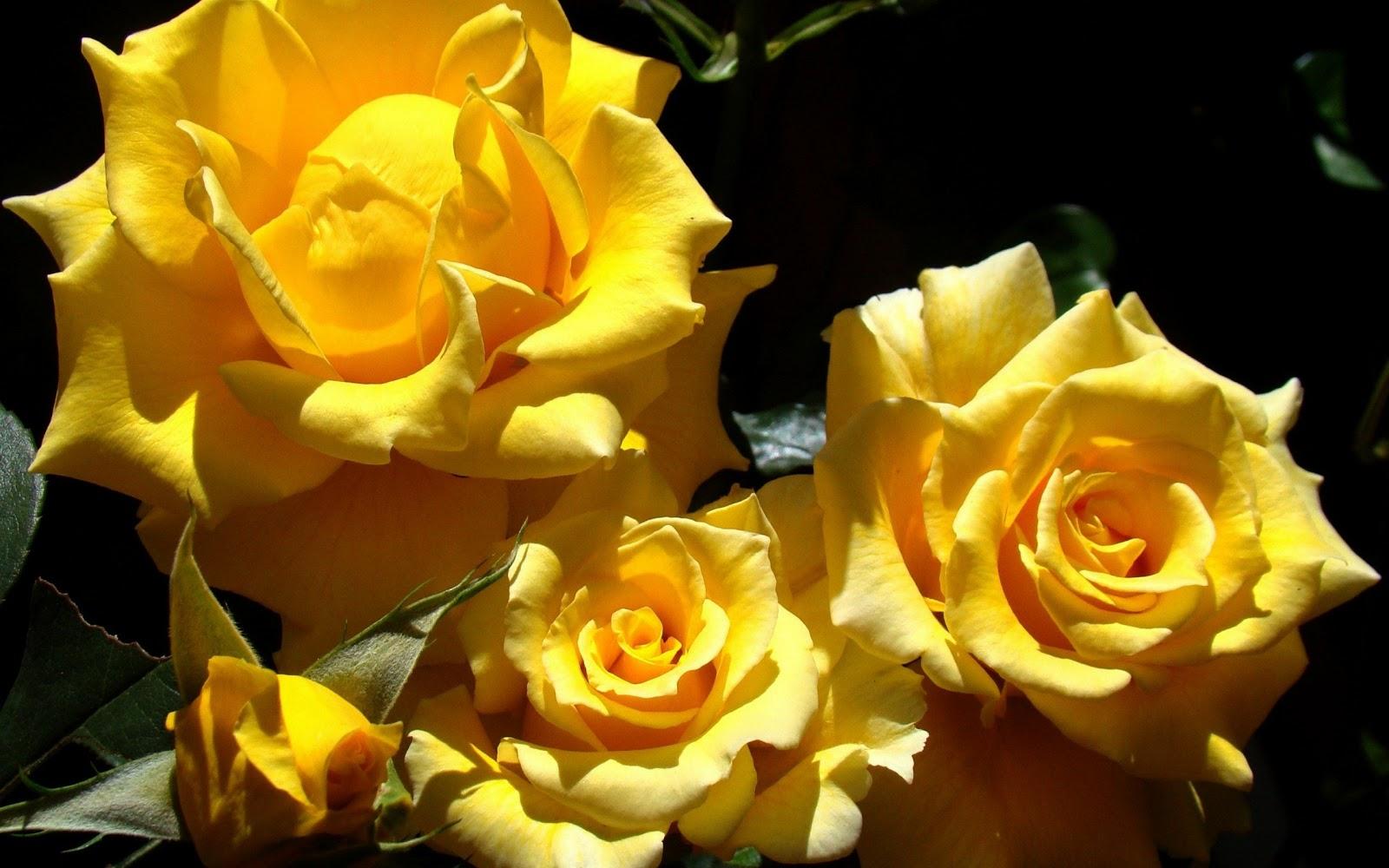 Картинки ярко желтые розы
