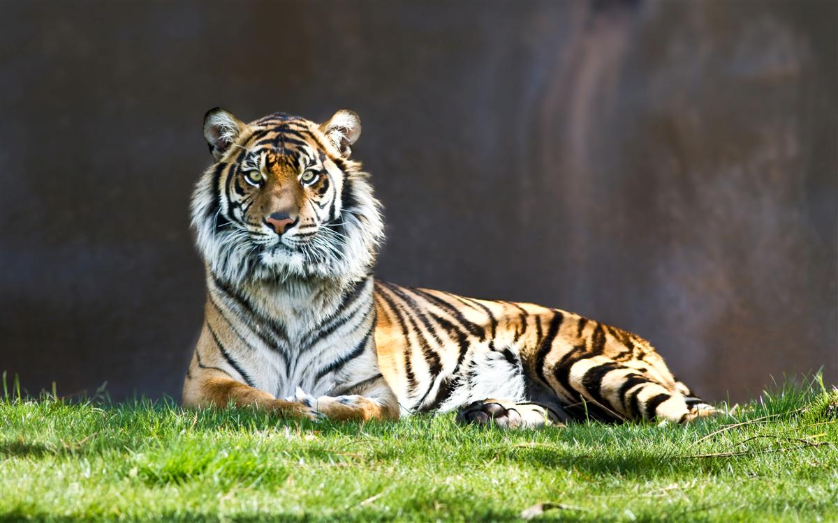 Tiger wallpapers   Wallpapers 1200x750