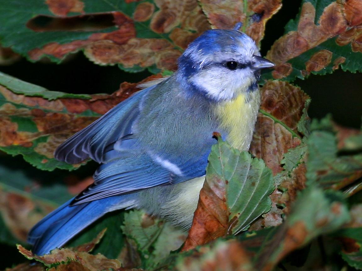 Blue tit   its so cute   Blue tit Wallpaper 36421829 1152x864
