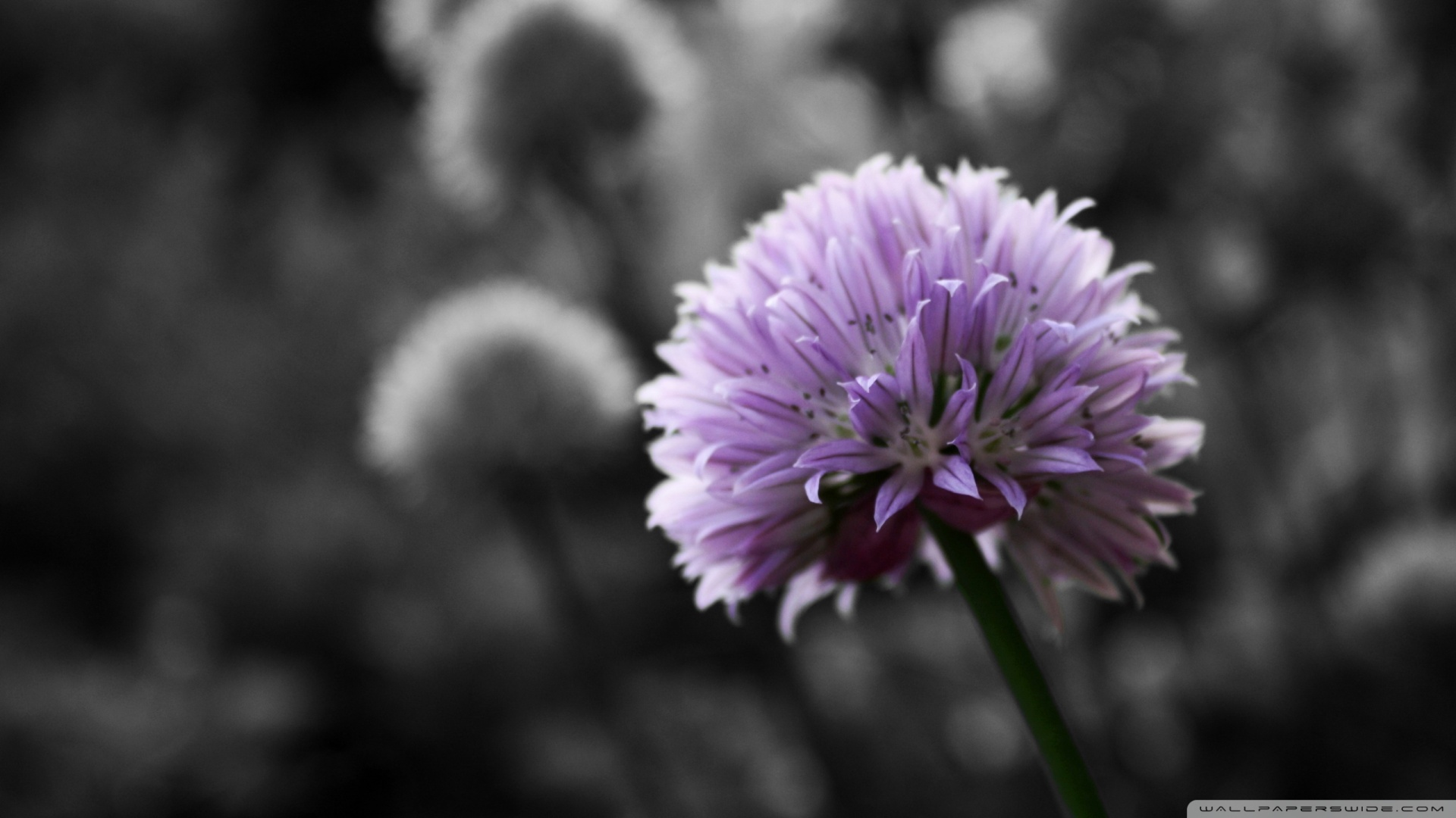 Purple Flower On Black And White Background Wallpaper 1920x1080