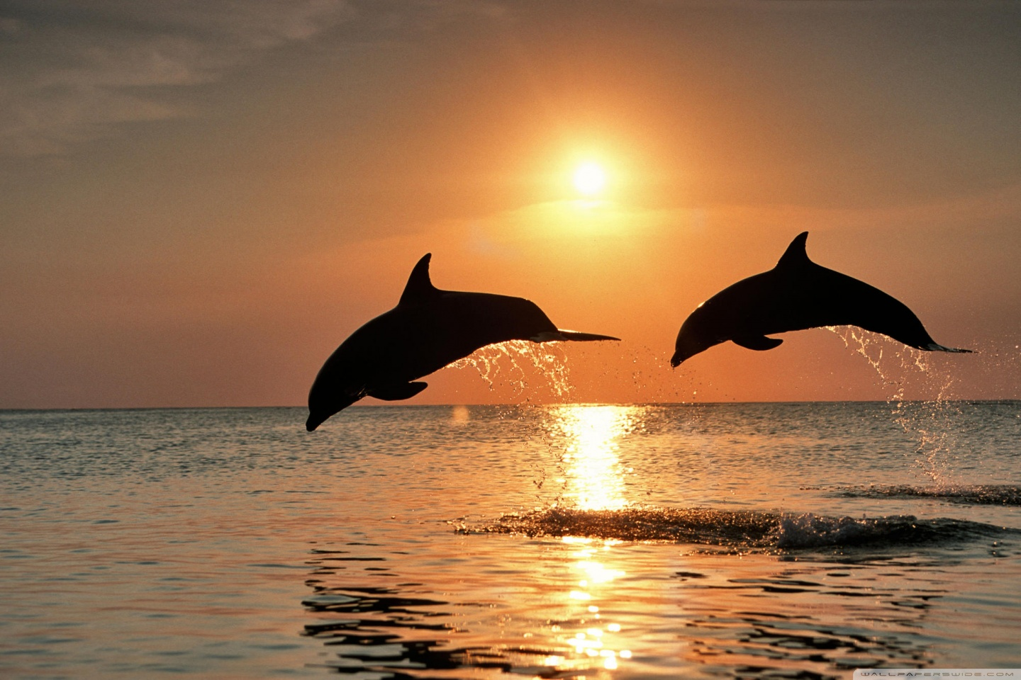 Download Bottlenose Dolphin Jumping At Sunset wallpaper 1440x960