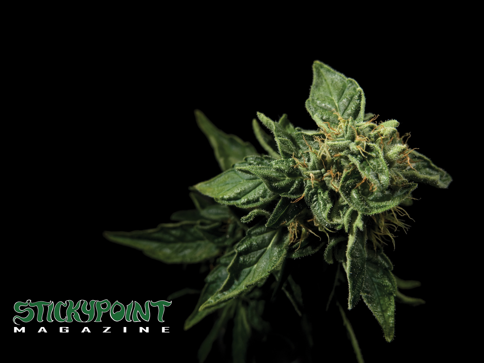 cannabis plant wallpaper black - photo #17