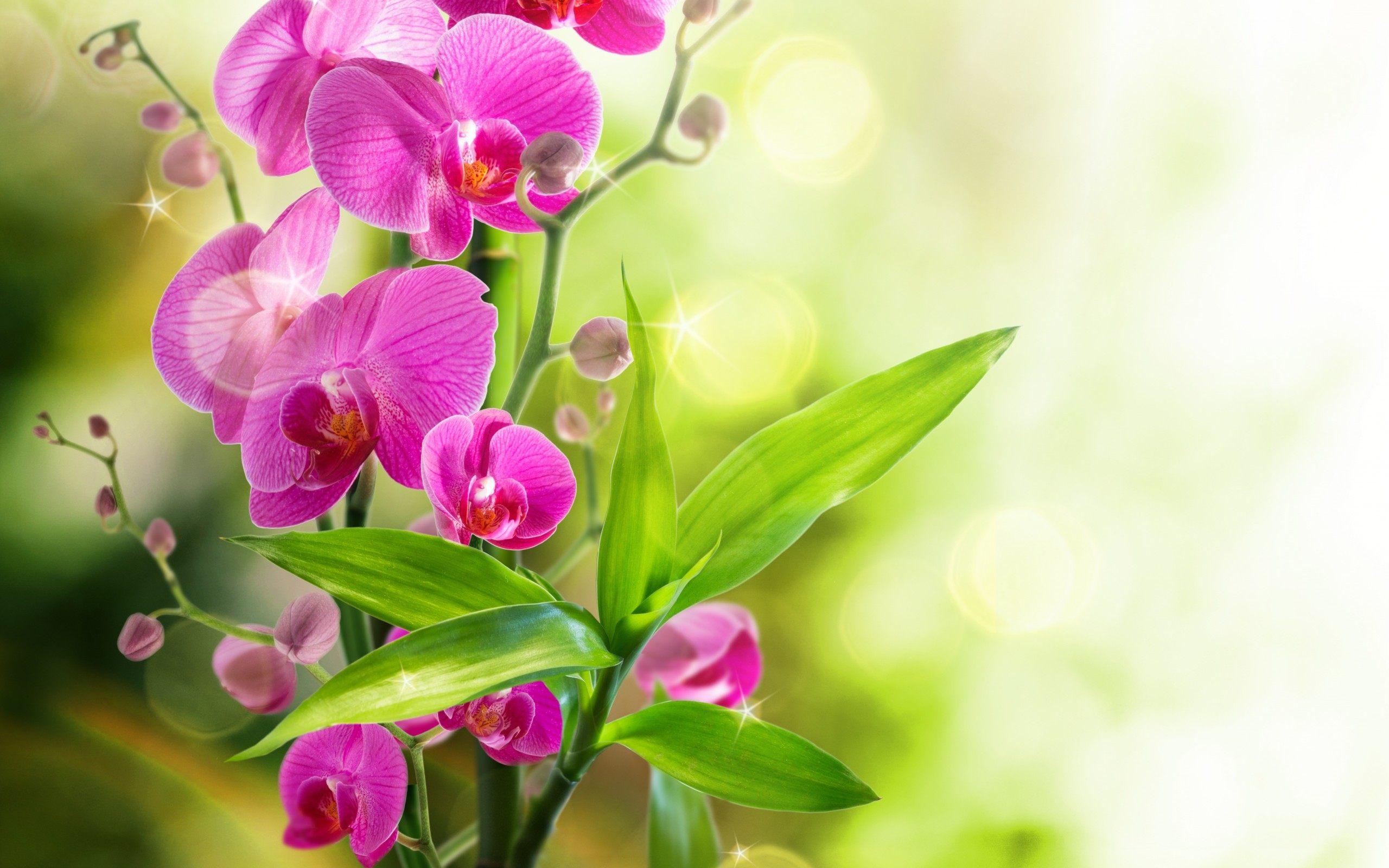 Обои для рабочего для стола цветы орхидеи
