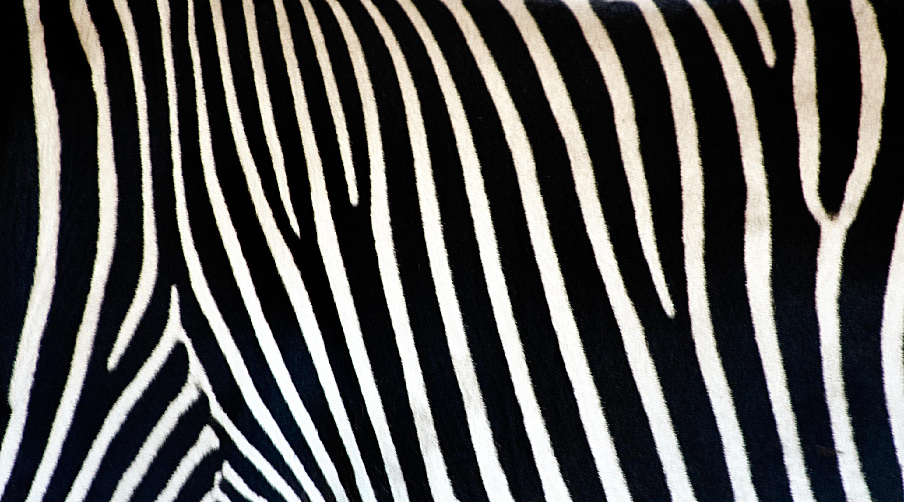 Amazing Zebra Wallpaper Zebra Print Wallpaper 2014 2969x1650