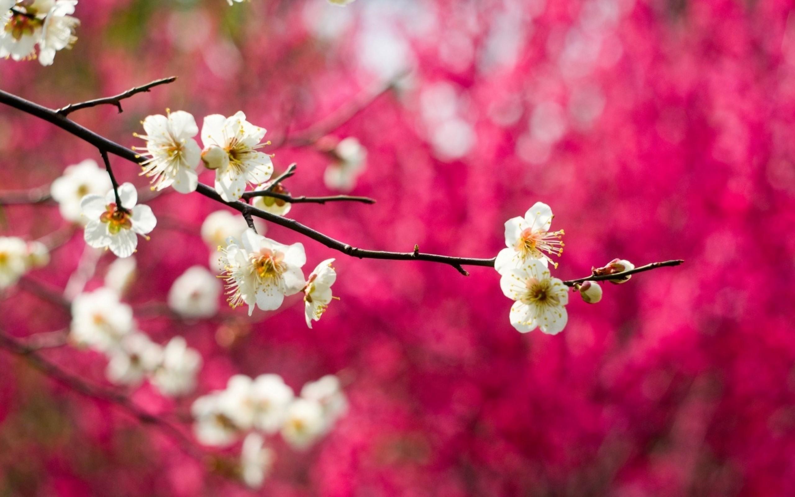 Blossom branch tree   HD spring season wallpaper 2560x1600